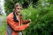 Silvio Covi, Fachleiter Schutzwald, zeigt eine von der Eschenwelke betroffene Pflanze. (Bild: Neue LZ / Dominik Wunderli)