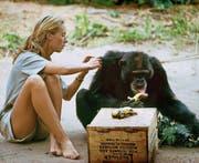 Jane Goodall Anfang der Sechzigerjahre mit «David Graubart». (Bild: National Geographic Creative/Hugo van Lawick)