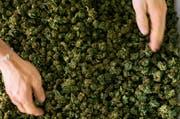 Cannabis ist Droge und Medizin zugleich. (Bild: Christian Beutler/Keystone)