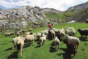 Über 16 000 Schafe werden auf 73 Alpen im Kanton Uri gesömmert. (Bild: pd)
