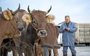 Landwirte und Viehhändler begutachten die Tiere am Schlachtviehmarkt in Eschenbach. Bild: Dominik Wunderli (22. November 2016)