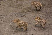Die Jungtiere beim Spielen. (Bild: Tierpark Goldau)