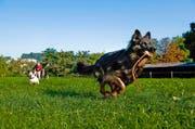 Spielende Hunde auf der Luzerner Allmend. Demnächst soll auf einem Teil der Allmend eine offizielle Hunde-Freilaufzone entstehen. (Bild: Roger Grütter / Neue LZ)