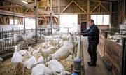Landwirt Peter Kaufmann in seinem Stall. 140 Saanenziegen hält er hier.Bild: Manuela Jans (Nebikon, 24. November 2016)