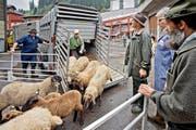 Wie lange es solche Szenen noch zu beobachten gibt, ist ungewiss. Die Schafe am Flühler Schafmarkt werden angeliefert und bald darauf zum Kauf angeboten. (Bild Pius Amrein)