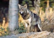 Der Wolf ist streng geschützt. Nur in Ausnahmefällen darf er abgeschossen werden. (Bild: Romano Cuonz (27. Juni 2015))