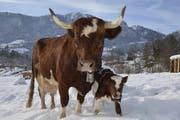 Die Kuh Soraja mit seinem Kälbchen Sabor. (Bild: Natur- und Tierpark Goldau)