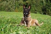 Dank Polizeihund Yagus konnte der zweite Einbrecher gefasst werden. (Bild: Luzerner Polizei)