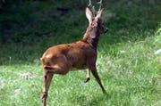 Ein Reh wurde bei einer Kollision getötet. Im Bild: Ein Reh im Tierpark Goldau. (Bild: Peter Fischli (Neue LZ))