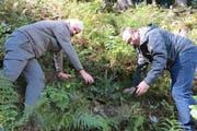 Der Obwaldner Regierungsrat Paul Federer (rechts) und Kantonsoberförster Peter Lienert pflanzen gemeinsam eine Weisstanne. Im Kanton Obwalden sind 10'000 neue Bäume zur Aufforstung des Schutzwaldes gepflanzt worden. (Bild PD)