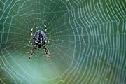Viele Leute wissen von Spinnen nichts - und ekeln sich selbst vor kleinen Exemplaren. (Bild: Keystone)