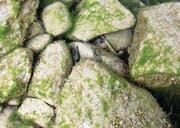 Der Kamberkrebs in einem Unterschlupf im Wasser unter einem Stein. (Bild: Stefan Kaiser (Zug, 18. April 2017))