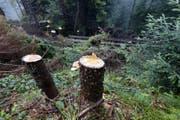 Insgesamt 55 Bäume wurden unterhalb des Aussichtspunkts Bellevue auf dem Gottschalkenberg illegal gerodet. (Bild Werner Schelbert)