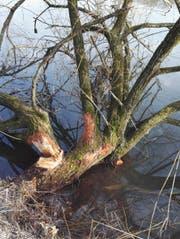"""Die Biber sind am Rotsee """"heimisch"""" geworden! (Bild: Beat Murer)"""