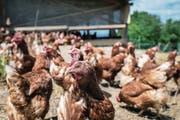 Legehennen zählen zu den wirtschaftlichsten Betriebszweigen der tierischen Produktion. (Bild: Christian Beutler/Keystone (Niederweningen, 5 Juni 2013))
