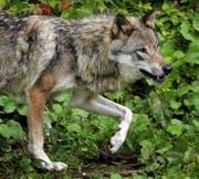 Ein Wolf in Vallorbe im Kanton Waadt: Luzern «erwartet» das Raubtier mit verschiedenen Massnahmen. (Bild: Keystone/Fabrice Coffrini)