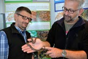Reptilienkenner Andreas Meyer (rechts) und Felix Omlin, Leiter der Nidwaldner Fachstelle für Natur- und Landschaftsschutz, mit einer seltenen Schlingnatter (auch kleines Bild). (Bilder Romano Cuonz)