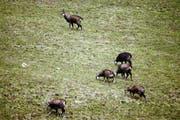 Ein Rudel Gämsen im Melchtal. Sie finden in diesem Winter ausreichend Futter. (Bild Romano Cuonz)