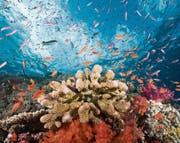 Vielfältiger Lebensraum: intaktes Korallenriff im Südpazifik vor einer der Lomaviti-Inseln, die zu Fidschi gehören. (Bild: Getty)