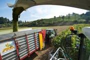 Die Maisernte ist in vollem Gang. Hier ist ein Maisfeld auf dem Hof von David Steffen in Ufhusen zu sehen. (Bild: Dominik Wunderli)