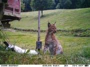 Dieser junge Luchs tappte am vergangenen Dienstag im Baselbiet in die Fotofalle, als er zum Fressen zu seiner Beute zurückkehrte. (Bild: PD/Kanton Basel-Landschaft)