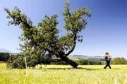 Im Kanton Luzern mussten im letzten Jahr wegen des Feuerbrands 400 Hochstammbäume (im Bild ein Apfelbaum) gefällt werden. (Archivbild Keystone/Urs Flüeler)