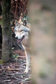 Der Wolf: fehlende Akzeptanz und Unwissen. (Bild: Benjamin Manser)