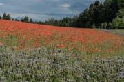 Gregor Meyer aus Geiss hat dieses Mohnblumenfeld für seine Frau zum Geburtstag angepflanzt. (Bild: Nadia Schärli (Geiss, 26. Juni 2017))