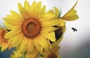 Dieses Jahr hatten die Bienen gute Voraussetzungen, um eifrig Honig zu produzieren. (Symbolbild: Keystone/Mohammad Abu Ghosh)