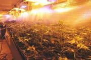 Die Indooranlage umfasste ganze 158 Hanfpflanzen. (Bild: Kapo Uri)