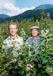 Mitten in einem Eibisch-Feld: Aktuar Anton Moser (mit Mütze) und Peter Stadelmann, Präsident der Kräutergenossenschaft Schüpfheim. (Bild: Dominik Wunderli / Neue LZ)