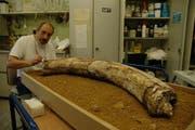 René Heim präpariert mit 60'000 Jahren ältesten Mammutzahn der Schweiz aus Luthern. (Bild pd)