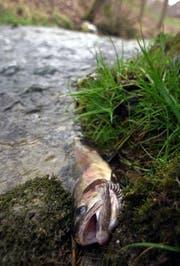 Verendeter Fisch. (Bild: Archiv Neue LZ)