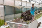 Flüchtling Abdil Iatah Mohamed bei der Arbeit in der Landwirtschaft auf dem Hofgut von Eschbach in Fluellinsdorf im Kanton Basel-Land. (Bild: Keystone / Patrick Staub)