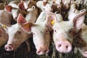 Mit fast 33 000 Schweinen hält Ruswil den Rekord der meisten Schweine in Luzern – auch dank dieser Ferkel in der Pfaffischwand. (Bild Pius Amrein)