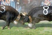 Zwei Eringer Kühe bei einem Showkampf am Zuger Stierenmarkt 2009. (Bild: Stefan Kaiser)