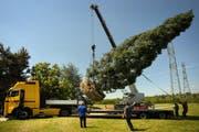 17 Tonnen in der Luft: Der Riesenmammutbaum wird für seine letzte Reise vorbereitet. (Bild: Pius Amrein/Neue LZ)