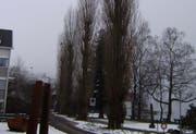 Die markanten Bäume werden durch Jungbäume ersetzt. (Bild pd)