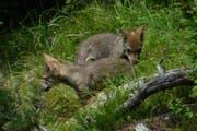 Zwei Jungwölfe des sogenannten Calanda-Rudels, aufgenommen im August vor einem Jahr. (Bild: Amt für Jagd und Fischerei Graubünden)