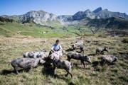 Die Wildschweine scheinen sich auf der Alp Selez wohl zu fühlen. (Bild: Urs Flüeler/Keystone (Bürglen, 29. August 2017))