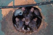 Rattenplage im Tierheim: Eine Auffangstation für Tiere im amerikanischen Fruitport, Michigan, wurde deswegen geschlossen. Kaninchen, Enten und Katzen wurden in andere Heime verfrachtet (5. Juni 2015). (Bild: Keystone)