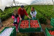 Die Erdbeerernte hat bei der Familie Geissmann in Altwis gestern begonnen: Annelis Geissmann mit ihren Grosskindern Ladina (links) und Anna. (Bild: Nadia Schärli)