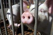 Nicht alle Obwaldner Schweine werden gut gehalten. (Symbolbild Werner Schelbert/Neue ZZ)