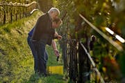 Mitglieder der Rebbaugenossenschaft Sonnenberg beim frühmorgendlichen Lesen der ersten Weintrauben. (Bild Pius Amrein)