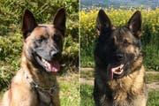 Dieswe Fahndungsspezialisten hatten den richtigen Riecher: Die Polizeihunde Django und Inouk. (Bild: Luzerner Polizei)