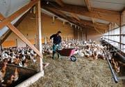 An der frischen Luft und doch geschützt: Die Hühner von Peter Werder im überdachten Aussenstall.Bild: Stefan Kaiser (16. November 2016)