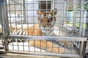 Eine Tigerin in einem Käfig. (Symbolbild Neue LZ)
