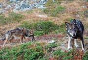 Wolfsnachwuchs im Walliser Augstbordgebiet. Diese Tiere tappten im Herbst 2016 in eine Fotofalle. (Bild: Gruppe Wolf Schweiz)