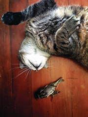 Der Preis der Freiheit: Das Büsi hat einen Vogel getötet. (Bild: Getty)