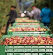 Auch Äpfel werden importiert, um das ganze Jahr Auswahl zu bieten. Bild: Reto Martin (Güttingen, 9. Oktober 2015)